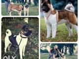 Собаки, щенята Американський акіта, ціна 14000 Грн., Фото