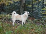Собаки, щенята Східно-сибірська лайка, ціна 3200 Грн., Фото