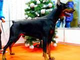 Собаки, щенки Доберман, цена 18000 Грн., Фото