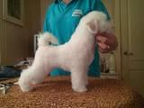 Собаки, щенята Бішон фрісе, ціна 12000 Грн., Фото