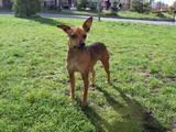 Собаки, щенята Карликовий пінчер, ціна 1000 Грн., Фото