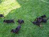 Собаки, щенята Гладкошерста такса, ціна 3500 Грн., Фото