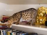 Кошки, котята Неизвестная порода, цена 230000 Грн., Фото