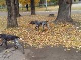 Собаки, щенята Німецька гладкошерста лягава, ціна 6000 Грн., Фото