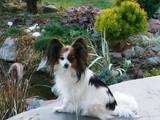 Собаки, щенки Папильон, цена 4000 Грн., Фото