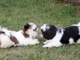 Собаки, щенята Ши-тцу, ціна 5500 Грн., Фото