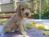 Собаки, щенята Англійський коккер, ціна 900 Грн., Фото