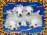 Собаки, щенята Мальтійська болонка, ціна 9000 Грн., Фото