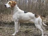 Собаки, щенки Русская борзая, цена 1 Грн., Фото