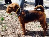 Собаки, щенята Вельштер'єр, ціна 7000 Грн., Фото