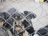 Собаки, щенки Русский спаниель, цена 2000 Грн., Фото