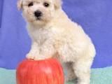 Собаки, щенята Той-пудель, ціна 3500 Грн., Фото