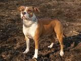 Собаки, щенята Американський стаффордширський тер'єр, ціна 1000 Грн., Фото