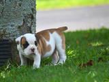 Собаки, щенки Английский бульдог, цена 2500 Грн., Фото