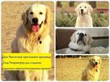 Собаки, щенки Золотистый ретривер, Фото
