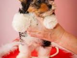Собаки, щенята Йоркширський тер'єр, ціна 7000 Грн., Фото