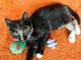 Кішки, кошенята Безпорідна, ціна 5 Грн., Фото