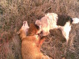 Собаки, щенята Жорсткошерстий фокстер'єр, ціна 4000 Грн., Фото