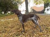 Собаки, щенки Немецкая гладкошерстная легавая, цена 2500 Грн., Фото