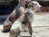 Собаки, щенята Німецький дог, ціна 3500 Грн., Фото