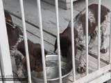 Собаки, щенки Немецкая жесткошерстная легавая, цена 10000 Грн., Фото