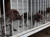 Собаки, щенята Німецька жорсткошерста лягава, ціна 10000 Грн., Фото