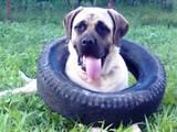 Собаки, щенята Англійська мастіф, ціна 7000 Грн., Фото