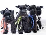 Собаки, щенки Цвергшнауцер, цена 4500 Грн., Фото
