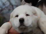 Собаки, щенята Середньоазіатська вівчарка, ціна 15500 Грн., Фото