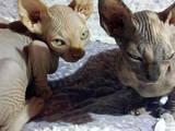 Кошки, котята Канадский сфинкс, цена 2000 Грн., Фото