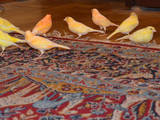 Попугаи и птицы Канарейки, цена 250 Грн., Фото
