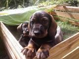 Собаки, щенята Жорсткошерста такса, ціна 4000 Грн., Фото