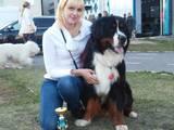 Собаки, щенки Бернская горная собака, цена 12000 Грн., Фото