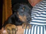 Собаки, щенки Доберман, цена 2000 Грн., Фото