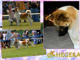 Собаки, щенята Американський акіта, ціна 20000 Грн., Фото