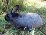 Грызуны Кролики, цена 100 Грн., Фото