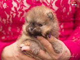 Собаки, щенята Карликовий шпіц, ціна 50000 Грн., Фото
