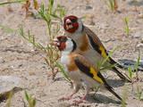 Папуги й птахи Канарки, ціна 50 Грн., Фото