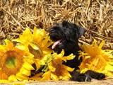 Собаки, щенки Цвергшнауцер, цена 5500 Грн., Фото