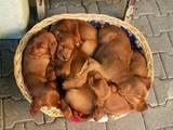Собаки, щенята Ірландський сетер, ціна 3000 Грн., Фото