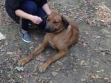 Собаки, щенята Родезійського ріджбек, ціна 2000 Грн., Фото