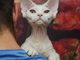 Кошки, котята Девон-рекс, цена 6000 Грн., Фото