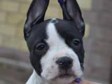 Собаки, щенки Американский стаффордширский терьер, цена 6000 Грн., Фото