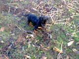 Собаки, щенки Гладкошерстная такса, цена 450 Грн., Фото