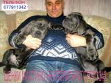 Собаки, щенята Мастіно неаполетано, ціна 12500 Грн., Фото