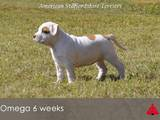 Собаки, щенки Американский стаффордширский терьер, цена 12000 Грн., Фото