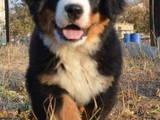 Собаки, щенки Бернская горная собака, цена 9500 Грн., Фото
