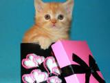 Кішки, кошенята Шотландська короткошерста, ціна 2900 Грн., Фото