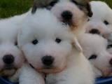 Собаки, щенята Піренейська гірська собака, ціна 15000 Грн., Фото