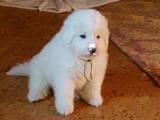 Собаки, щенки Пиренейская горная собака, цена 15000 Грн., Фото
